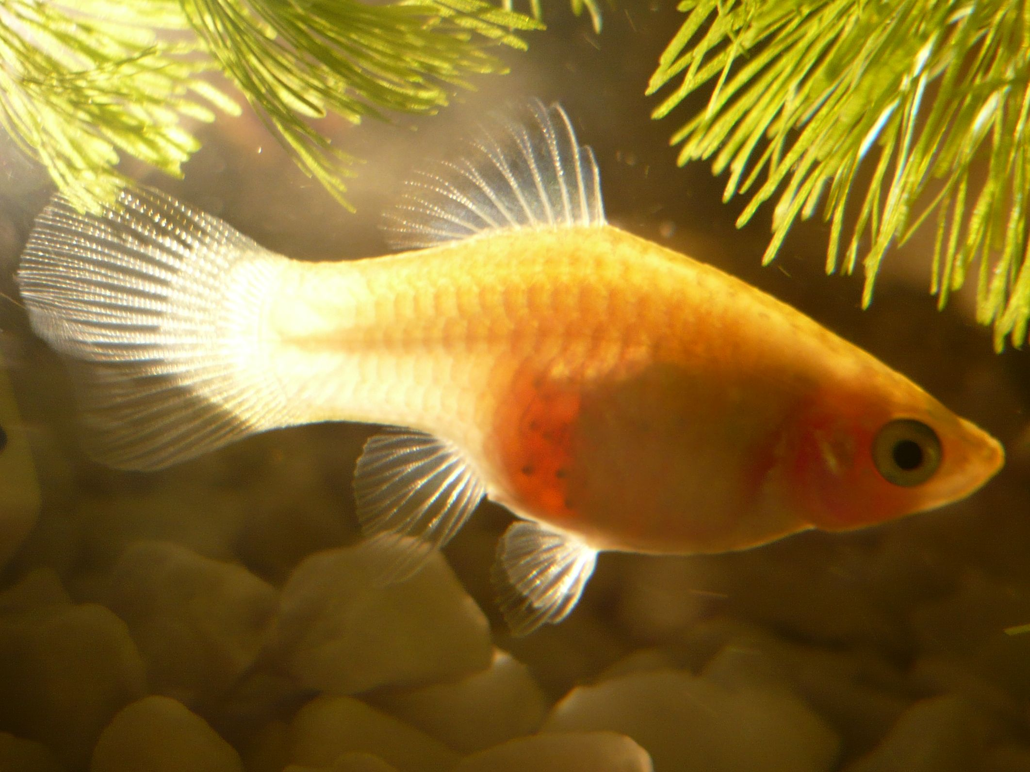 Here's a pic of a pregnant platy, see if yours looks anything like this: